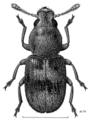 COLE Anthribidae Lichenobius littoralis f.png