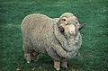 CSIRO ScienceImage 217 A Stud Ram.jpg
