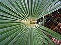 Cabbage palm frond (5502230958).jpg