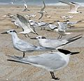 Cabot's Tern From The Crossley ID Guide Eastern Birds.jpg