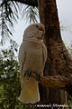 Cacatua goffiniana -perching on branch-8.jpg