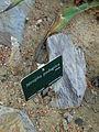 Cactees-Jardin-Plantes 05 Jatropha-podagrica.JPG
