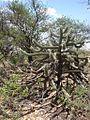 Cactus da Caatinga (1376835644).jpg