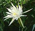 Cactus flower -- Epiphyllum hookeri.jpg