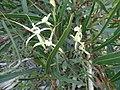 Caladenia denticulata subsp. denticulata 04.jpg