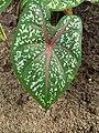 Caladium bicolor - Fancy-Leaf Caladium,Artist's pallet,Elephant's ear 4.jpg