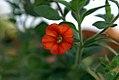 Calibrachoa parviflora Callie Orange 0zz.jpg