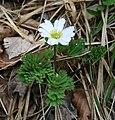 Callianthemum anemonoides 2.jpg