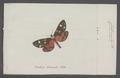 Callimorpha - Print - Iconographia Zoologica - Special Collections University of Amsterdam - UBAINV0274 055 04 0022.tif