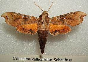 Callionima calliomenae