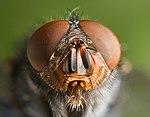 La mouche bleue de la viande dans MOUCHE 150px-Calliphora_vomitoria_Portrait