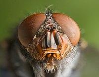 Potret dari lalat biru (Calliphora vomitoria) di Austins Ferry, Tasmania, Australia.