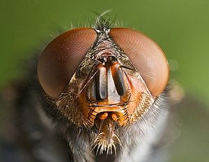 Calliphoridae - Close-up of the head of Calliphora vomitoria