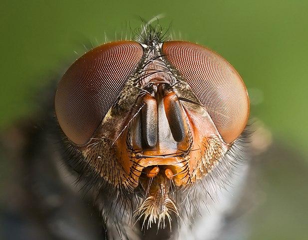Insekter har fasettögon (sammansatta ögon) som kan sägas vara sammansatta av många små ögon.