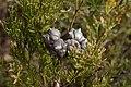 Callitris rhomboidea (Oyster Bay Pine) cones.jpg