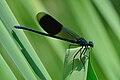 Calopteryx splendens qtl1.jpg