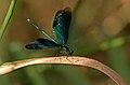 Calopteryx virgo-pjt.jpg