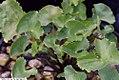 Caltha palustris 5zz.jpg