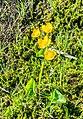 Caltha palustris at Lac de Tavaneuse (4).jpg
