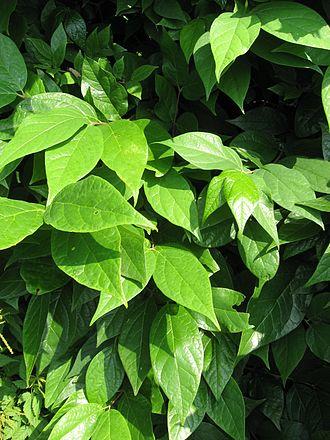 Calycanthus - Image: Calycanthus Floridus Leaf