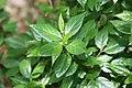 Calycanthus floridus Michael Lindsey 2zz.jpg
