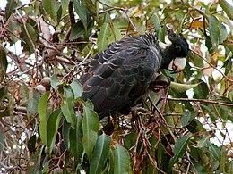 Calyptorhynchus baudinii (female) -Margaret River-8