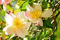 Camellia sasanqua (8332860718).jpg