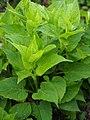 Campanula latifolia subsp. latifolia Dzwonek szerokolistny 2019-05-03 06.jpg