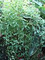 Canarina canariensis (BG Zurich)-01.JPG