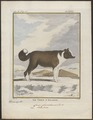 Canis lupus familiaris - 1700-1880 - Print - Iconographia Zoologica - Special Collections University of Amsterdam - UBA01 IZ22300117.tif