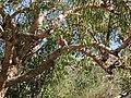 Cape Range National Park - Cacatoès rosalbin.jpg