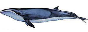 Pygmy right whale - Image: Caperea marginata 3