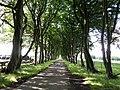 Caplaw Farm beech trees shelter belt, East Renfrewshire, Scotland.jpg