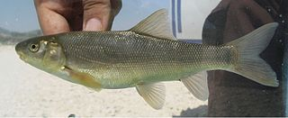 <i>Capoeta</i> genus of fishes
