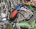 Carabus hispanus bl7.jpg