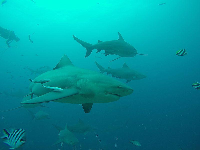 File:Carcharhinus leucas beqa.jpg