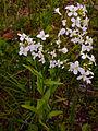 Cardamine bulbosa - Spring Cress.jpg