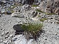 Carex congdonii — Matt Lavin 001.jpg