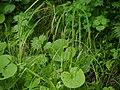 Carex stipata ookawazusg03.jpg