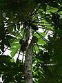 Carica papaya Lodz Palm House.jpg