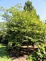 Carpinus turczaninovii - J. C. Raulston Arboretum - DSC06155.JPG