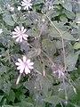 Caryophyllales - Stellaria nemorum - 3.jpg