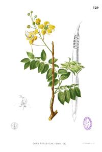 Cassia fistula Blanco1.120