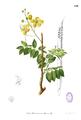 Cassia fistula Blanco1.120.png