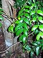 Cassia marksiana - Coffs.jpg