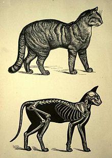 gravure ancienne montrant un chat et un squelette lors d'une coupe