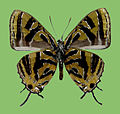 Catapaecilma nakamotoi H. Hayashi, male underside.JPG