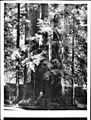 Cathedral group of Big Trees in Henry Cowell Park, Santa Cruz, 1903 (CHS-1280).jpg