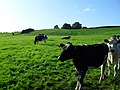 Cattle, Ballynaris Townland - geograph.org.uk - 1457171.jpg