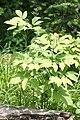 Caulophyllum robustum s2.jpg